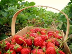 petik strawberry lembang bandung
